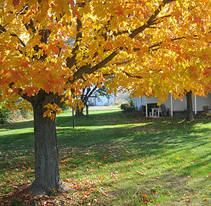 Different varieties of Sugar Maples make it easy to mix and coordinate fall color on your property.