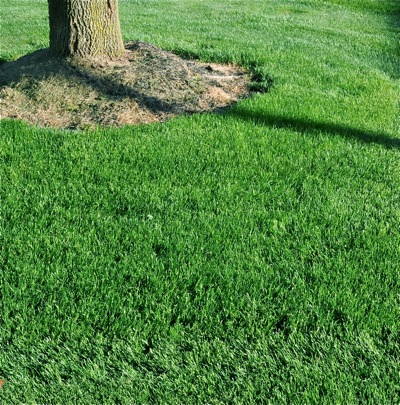 2-4-D products are excellent for keeping turf, like this bluegrass, free from broadleaf weeds.