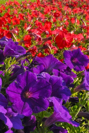 Use one color, or mix and match to make a striking contrast, as with these petunias.