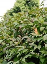 A popular variety, burning bush, before pruning.....