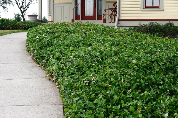 Whether schrubs or ground cover (above), proper pruning adds to not only the look of your landscaping design...but health, as well.