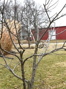 Compare a pruned tree to the one pictured to the right.  Better shape, easier to work around, and easier to maintain.